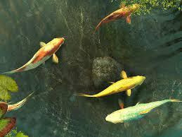 wallpaper ikan bergerak untuk pc koi fish 3d screensaver free download and software reviews cnet