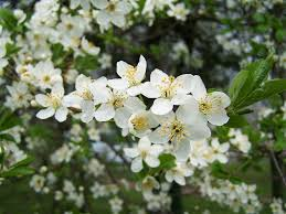 trees with white flowers free photo fruit trees in bloom white flower free image on