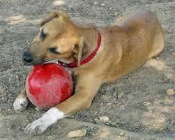 australian shepherd boxer mix nena the boxer mix puppies daily puppy