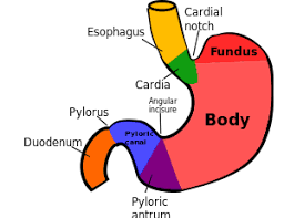 Esophagus And Stomach Anatomy Jejunum U0027s Function In The Small Intestine And Digestive System