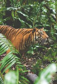 57 best tigers images on pinterest wild animals nature and animals