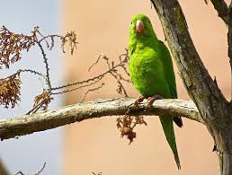 free photo parrot bird tree green feathers free image on