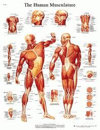 clinical human anatomy gallery learn human anatomy image