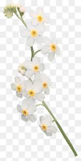 White Orchid Flower Orchid Flowers Png Vectors Psd And Icons For Free Download