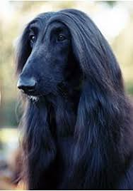afghan hound weight breed profile