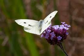 are all the white butterflies in my garden evil enviro mentalist