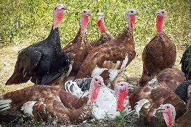 it s a idea to eat a bird on thanksgiving takepart