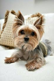 pictures of puppy haircuts for yorkie dogs pin by halina babiarz on zwierzaczki pinterest yorkies pup