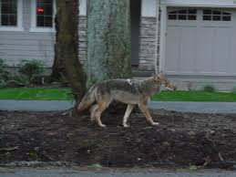 Oregon wild animals images Nocturnal wildlife in your portland area hood it 39 s all around you jpg