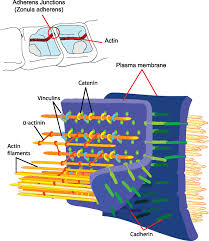 cell junctions boundless anatomy and physiology