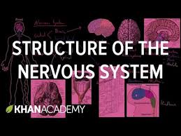 Anatomy And Physiology Nervous System Study Guide Structure Of The Nervous System Video Khan Academy