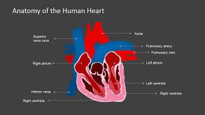 Heart External Anatomy Shape Of The Heart Anatomy Images Learn Human Anatomy Image
