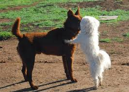 afghan hound least intelligent afghan hounds and basenjis are thought to be the least intelligent
