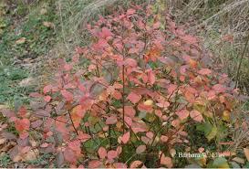 shrubs late fall color eastern shore gardener