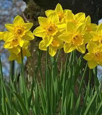 Ideas For Daffodil Varieties Design 25 Most Beautiful Daffodil Flowers