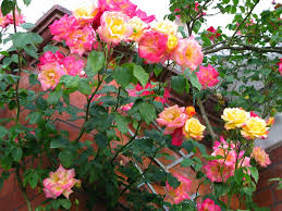 Different Color Roses Alicia Merrett The Rose Bush In My Front Garden Has Roses In