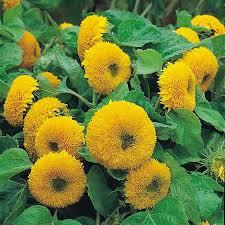 teddy sunflowers sunflower teddy seeds thompson