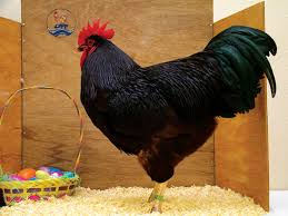 the history of rhode island red chickens countryside network