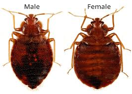 What Do A Bed Bug Look Like What Do Bed Bugs Look Like
