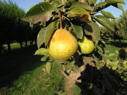 orient pear tree ison s nursery vineyard