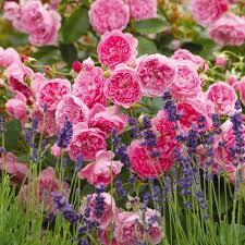 Fragrant Rose Plants - fragrant english roses david austin roses
