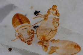 bed bug sheddings what do bed bug shed skins look like