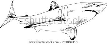 attacking great white shark snarling mouth stock vector 701888989