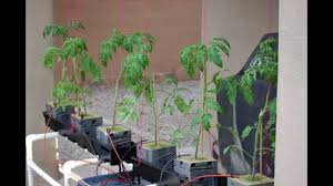 trellis system for hydroponic tomato plants youtube