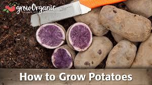 planting u0026 growing potatoes organic gardening blog
