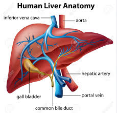 Human Anatomy In Pdf Human Liver Anatomy And Physiology Pdf Anatomy Chart Body