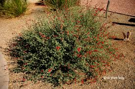 plants native to arizona drought tolerant and beautiful globe mallow ramblings from a