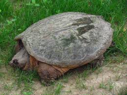 Ringed Map Turtle Common Snapping Turtle Facts And Pictures Reptile Fact