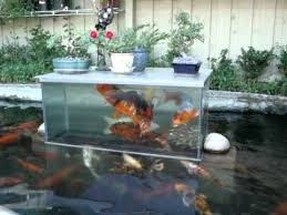koi fish play in fish tank