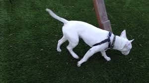 doot the bull terrier gets to play in my cousins backyard doot is