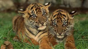hd tigers wallpapers and photos hd animals wallpapers