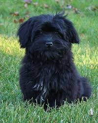 affenpinscher for sale near me this is the sweetest breed ever this looks so much like my