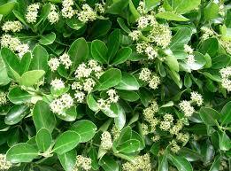 euonymus japonicus herbi24 pinterest coastal gardens plants