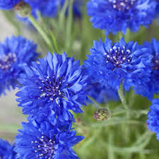 edible blue flowers tips about grow eat 5 edible flowers tips about