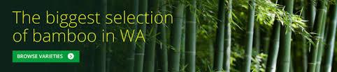 bamboo plants perth bamboo landscape plants bamboo wa
