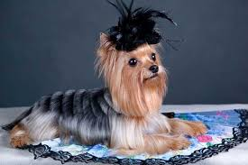 yorkshire terrier haircuts pictures yorkie haircuts 100 yorkshire terrier hairstyles pictures