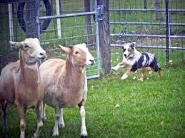 belgian shepherd herding draxen farms draxen farms herding dog trainer south florida