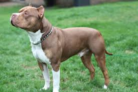 american pit bull terrier bully this handsome boy is michigan u0027s first ukc american bully breed
