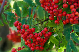 berry trees in michigan rowan mountain ash tree all about
