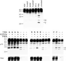proteolytic processing of the p75 neurotrophin receptor and two