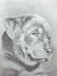 pencil drawing of rottweiler pencil drawing of rottweiler puppy