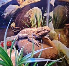 Bearded Dragon Behavior Before Shedding by Bearded Dragon Care Bearded Dragon Health And Diseases Page 2
