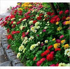 50 pcs zinnia elegans flower seed garden flower potted flower