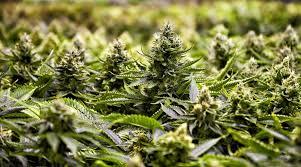 Colorado Marijuana Dispensary Map by Medicine Man Denver Marijuana Dispensary
