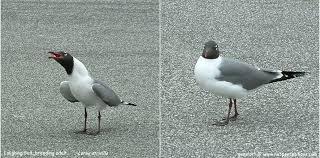 South Carolina birds images Sc south carolina bird pictures page shore birds jpg