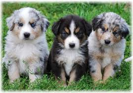 4 month australian shepherd australian shepherd dog breed information and pictures